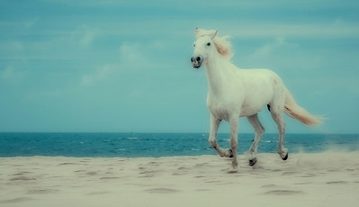 Camargue Horse Beach Dream (single horse)