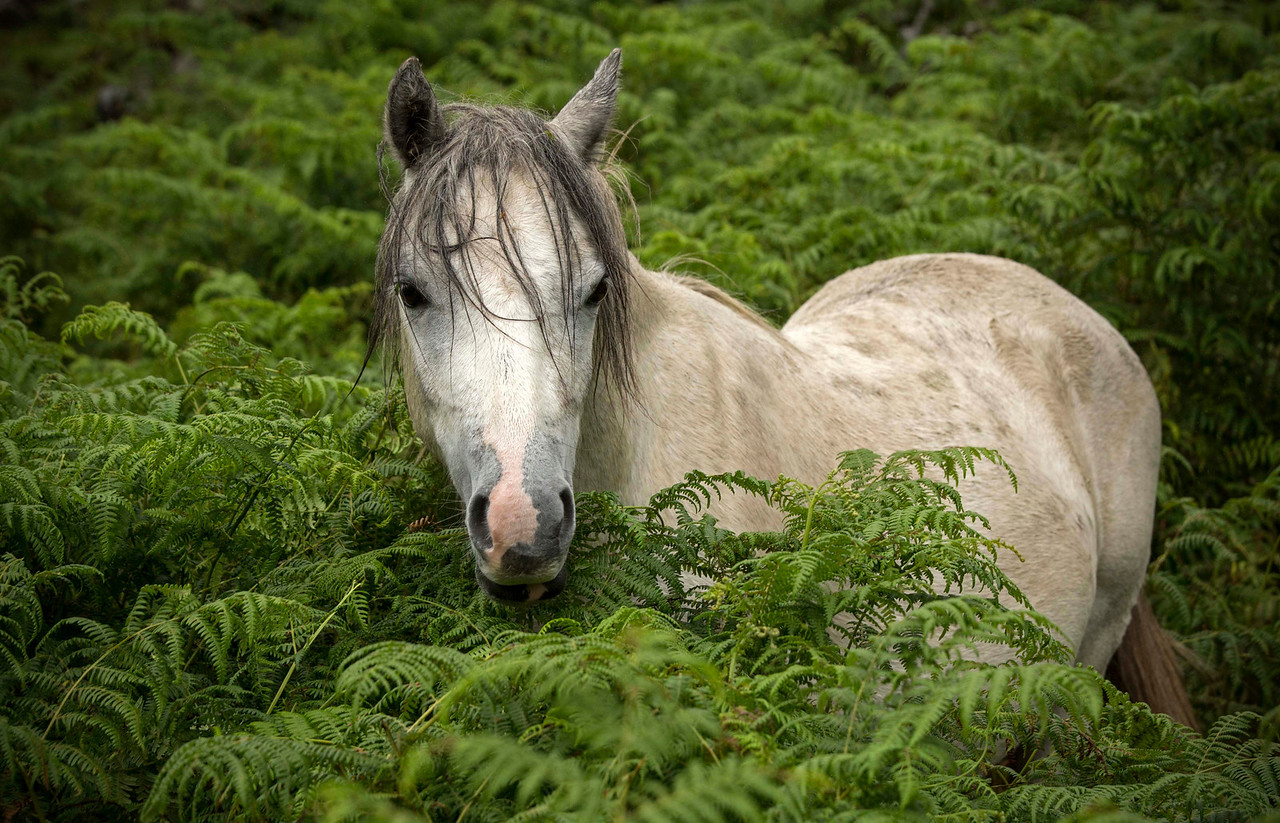 Wales Horse in bracken-fern