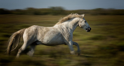 Camargue Horse in Motion (pan)
