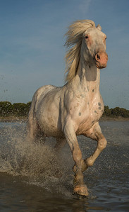 Camargue Horse Portrait (single horse)