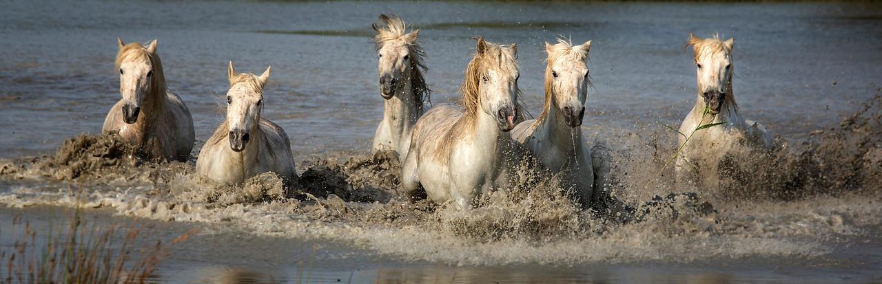 Camargue Horses Pano (six horses)