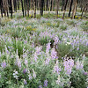 Burn and Flowers, Sawtooth Mountains - Idaho<br /> <br /> Two years after a wildfire transformed the rich green forests into a stand of shadowy carbon-black spears, the wonderfully lush floor ripens with a bumper crop of lupine.