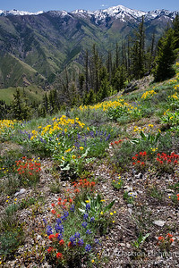 Summer wildflowers high above Camas Creek canyon in Idaho's Frank Church-River of no Return Wilderness, June 2011.