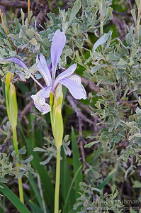 Iris and sagebrush in eastern Idaho's Lemhi Range, July 2011.