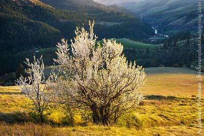 Flowering tree above the Potlatch River canyon, Latah County, Idaho
