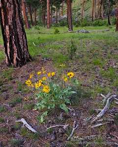 Arrowleaf Balsamroot and ponderosas on river terrace near Middle Fork of the Salmon, Frank Church-river of No Return Wilderness, Idaho, June 2011.