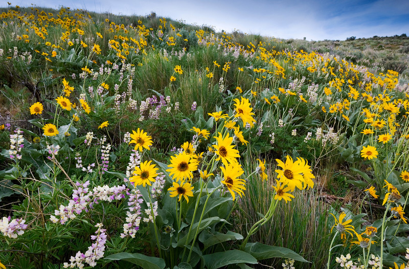 Arrowleaf and Lupine, Boise Foothills - Idaho<br /> <br /> Arrowleaf Balsamroot and Lupine bloom into the morning light of the lush spring foothills surrounding Boise. In the spring the foothills are wet and alive and green, but in just a few of months they will have been transformed into rolling brown hills of sage and cheatgrass.