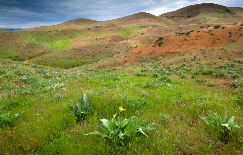 Solitary Flower, Boise Foothills - Idaho<br /> <br /> Arrowleaf Balsamroot dot the hillside of the Boise Front range during a particularly wet May.