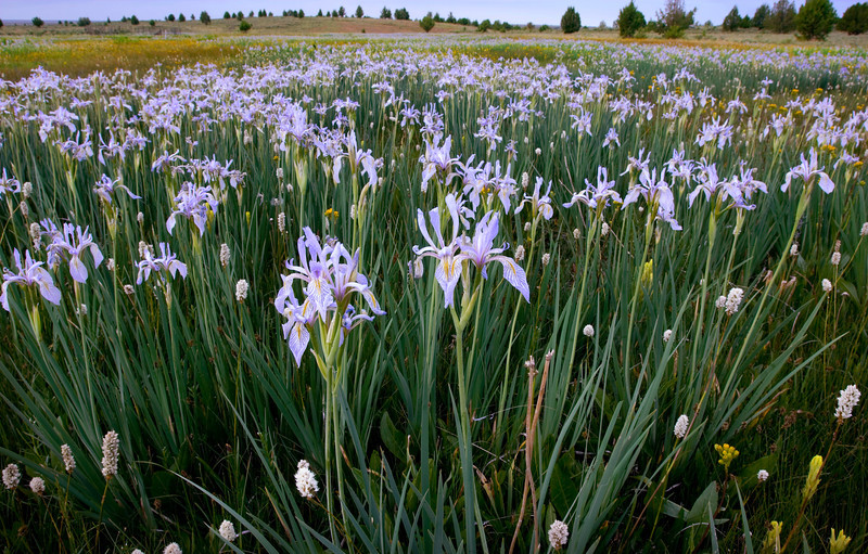 Wild Iris, Owyhee Desert - Idaho  Each spring, in certain areas of the lower desert of the Owyhee Canyonlands, wild iris bloom in incredible numbers - their purple and yellow streaked faces can be seen for miles, often times mistaken for small flat pools of water - like a mirage.