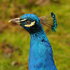 Peacock Flare