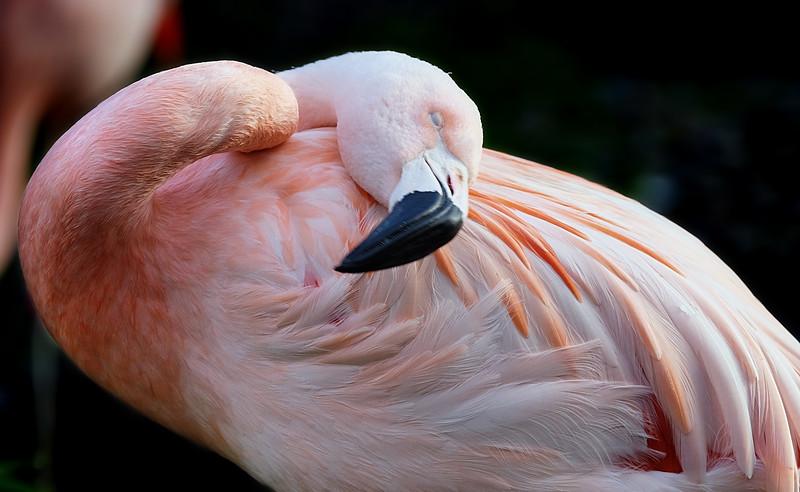 Chilian Flamingo