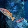 Orange Stripped Fish