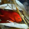 Vermilian Rockfish