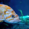 Orange Stripper Fish