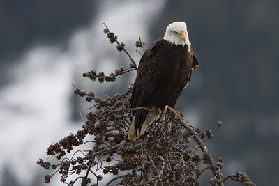 Bald Eagle, Lamar Valley, Yellowstone Park