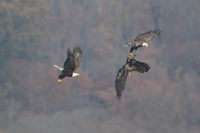 The adult Eagle on the right has grabbed the fish and the Juvenile Eagle's talons - disrupting the flight of the Juvie.