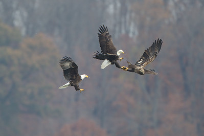 Two adult Bald Eagles ambush a Juvenile and eventually steal his fish.