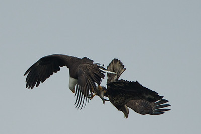 An adult Bald Eagle (left) steals a fish from a Juvenile Eagle in mid flight. Another interesting behavior I noticed at Conowingo. Even though the river was flooded with Shad and Catfish, almost every time an eagle caught a fish, it was ambushed by other Eagles. The smart ones flew into the trees to finish their meal.