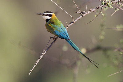 White Throated Bee-eater,  Sambura National Reserve, Kenya