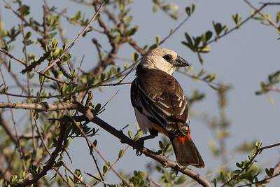 White Headed Buffalo Weaver