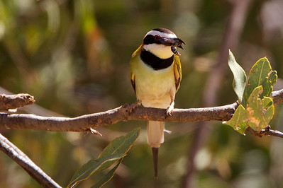 White Throated Bee-eater living up to his name.