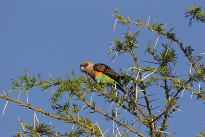 Female Orange-bellied Parrot - Sambura Game Preserve, Kenya