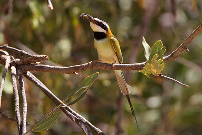 White Throated Bee-eater enjoying his catch