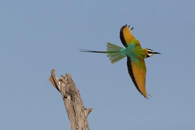 White Throated Bee-eater- Sambura Game Preserve, Kenya