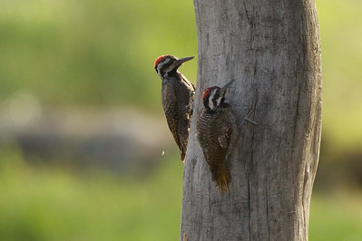 This pair of Nubian woodpeckers were photographed at Lake Nakuru, Kenya