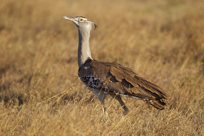 Kori Bustard, Samburu Preserve, Kenya