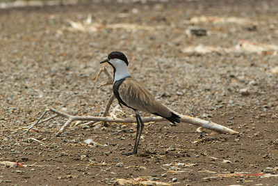 Spur-winged Plover, Lake Borgoria, Kenya