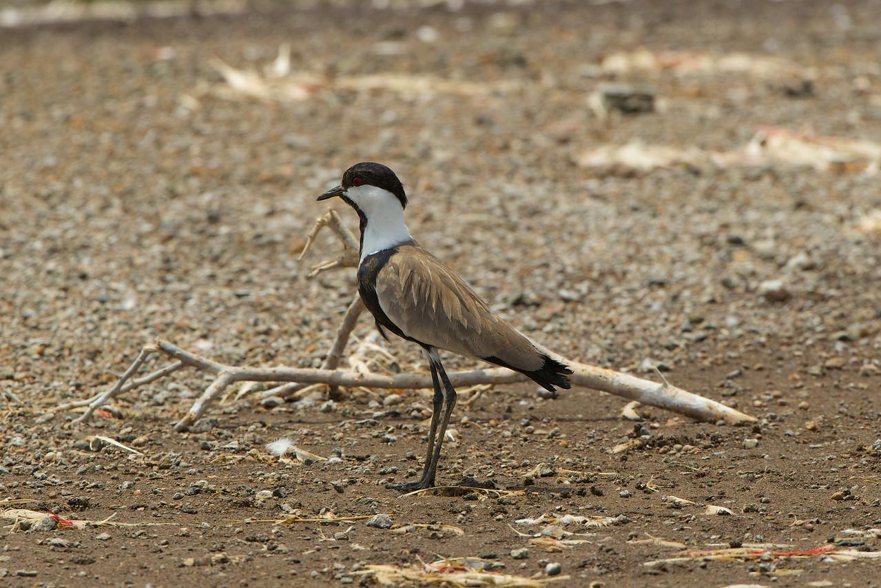 Spur-winged Plover, Lake Borgoria, Kenya
