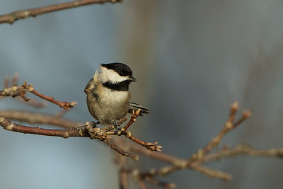 Chickadee enjoying a warm winter day in NJ.