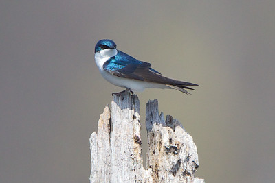 Tree Swallow, NJ.