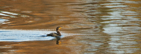 A cormorant glides through the Swimming River Reservoir at sunset in Colts Neck, NJ