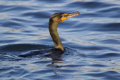Double Crested Cormorant, Manasquan Reservoir, NJ.