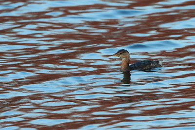 Grebe - Manasquan Reservoir, Howell, NJ