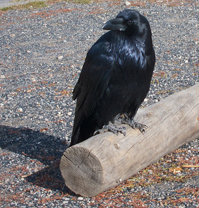 Our Friend the Raven...