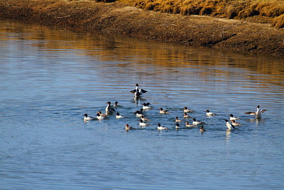 Common Mergansers at Oxbow Bend, Wyoming