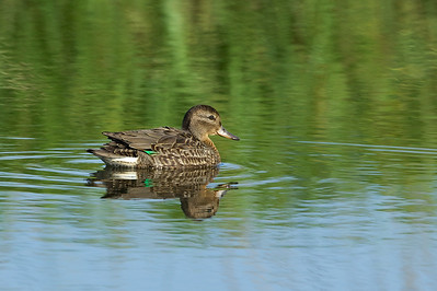 Green-winged Teal -winter female
