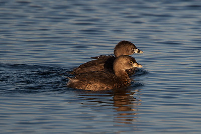 Pied Billed Grebe- male and female.