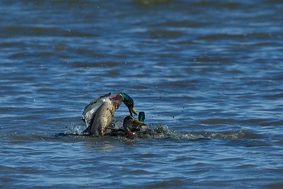 Two Mallards fight over a female duck