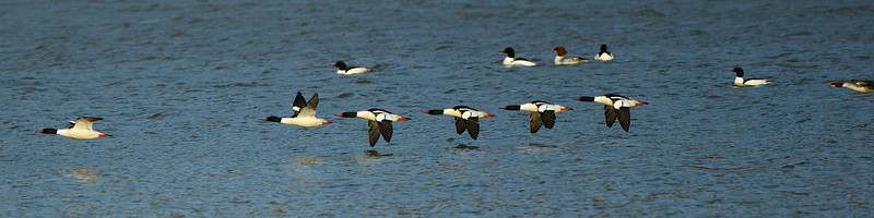 Common Mergansers, Colts Neck, NJ