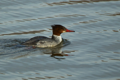 Female Common Merganser, Swimming River Reservoir, Colts Neck, NJ