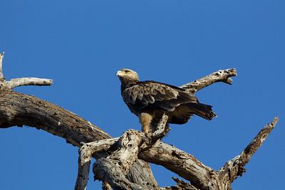 Tawny Eagle- Ol Pejeta Conservancy, Kenya