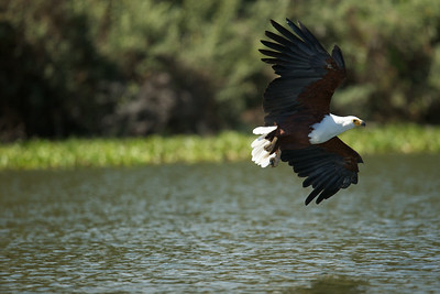 African Fish Eagle - Lake Borgoria National Reserve, Kenya