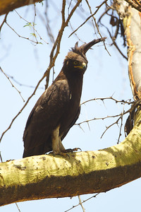 Long-Crested eagle - Lake Nakuru, Kenya