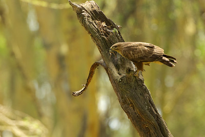 Buzzard hunting frogs, Kenya