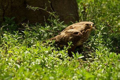 A Buzzard with dinner, Kenya