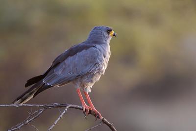 Eastern Pale Chanting Goshawk - Ol Pejeta Conservancy, Kenya